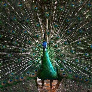 peacock furry friends pinterest peacock bird watching and bird