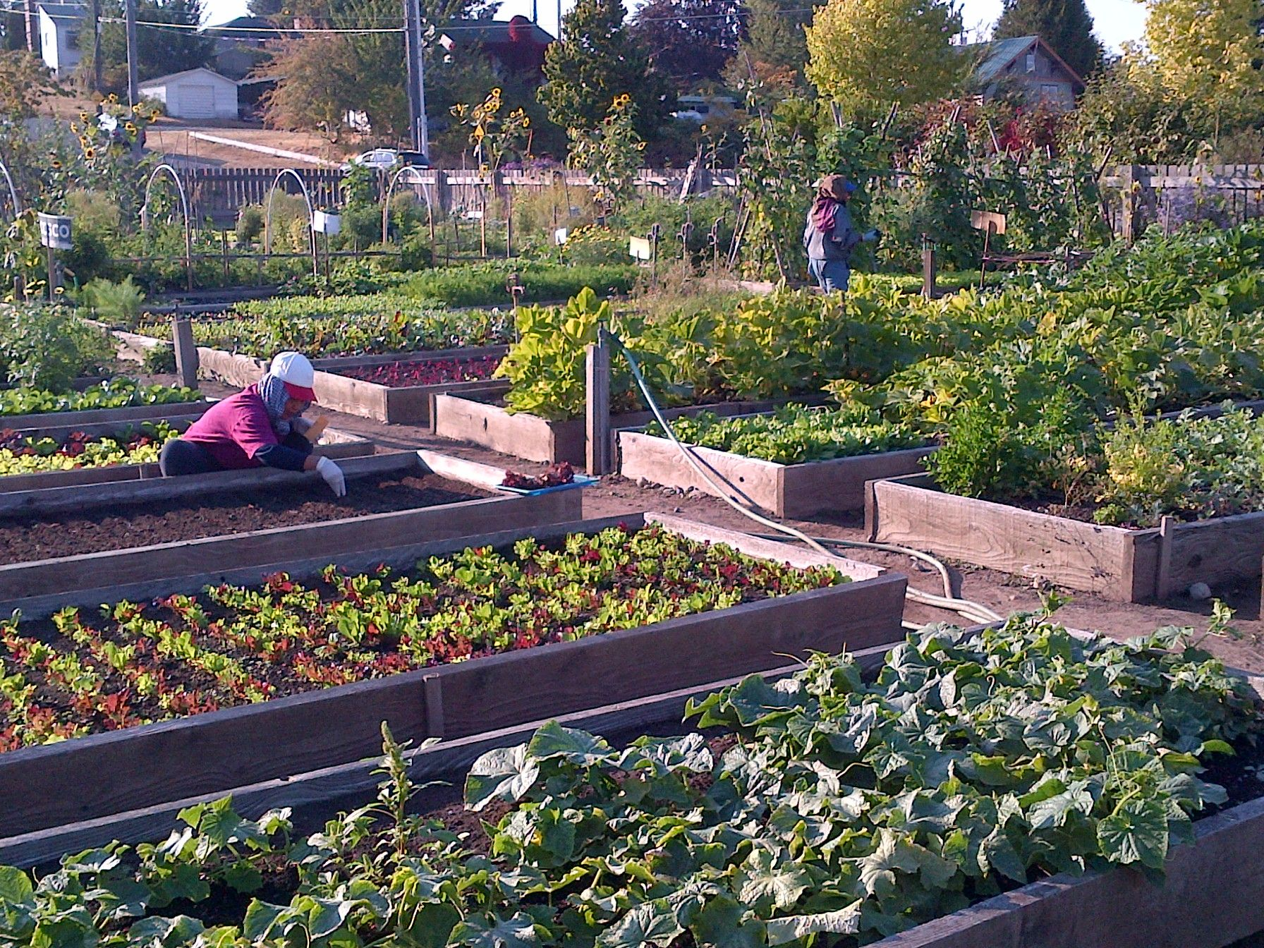 Seattle Setting Example for Community Gardens Nationwide ...