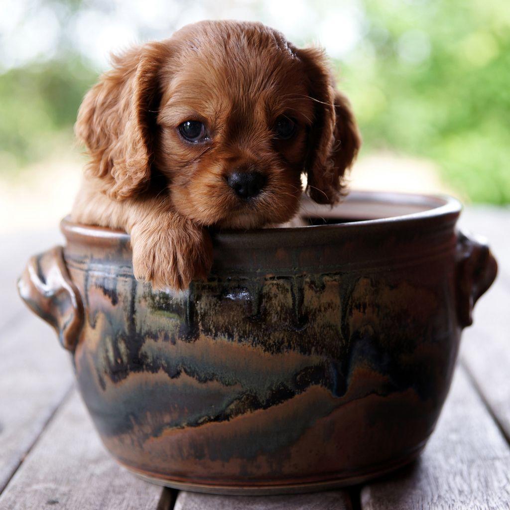Cavalier king charles spaniel puppy teacup animals