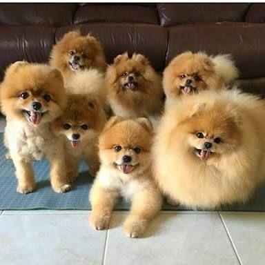 Image Result For Pomeranian Pomeranian Pinterest