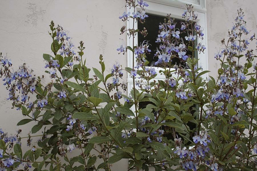 clerodendrum ugandense (blue butterfly bush) sun/ps, 8