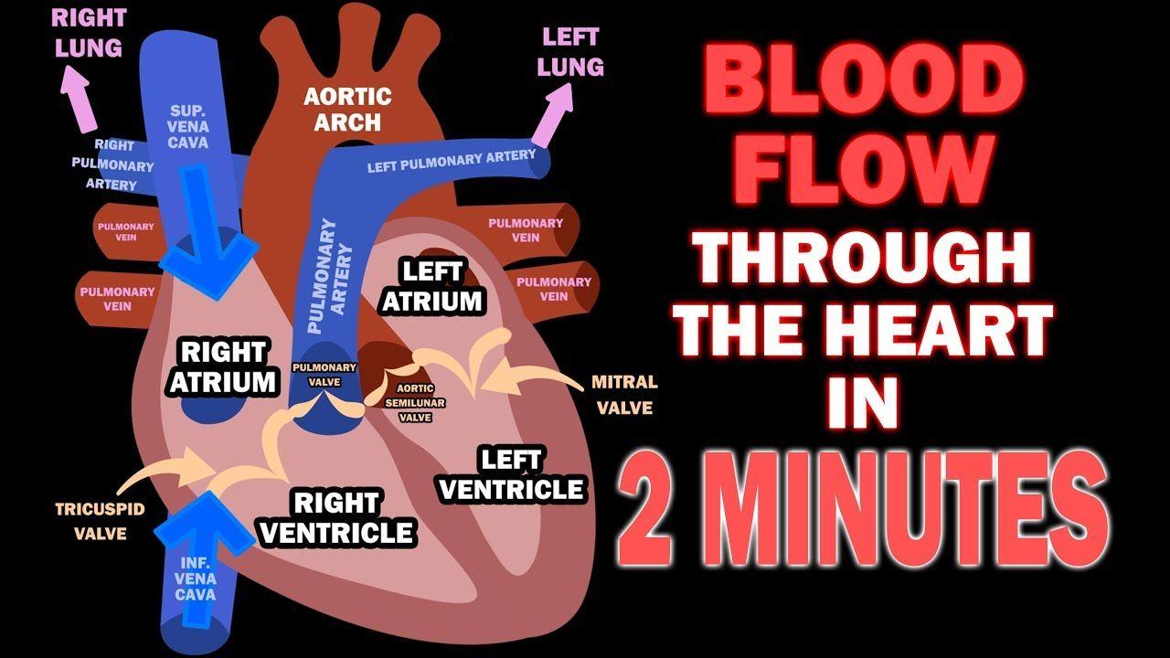 Pin on Heart Anatomy