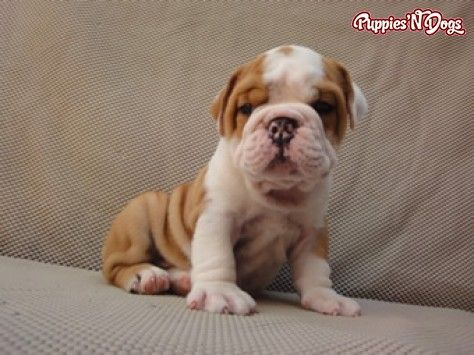 English Bulldog Puppies English Bulldog Puppies Bulldog Puppies
