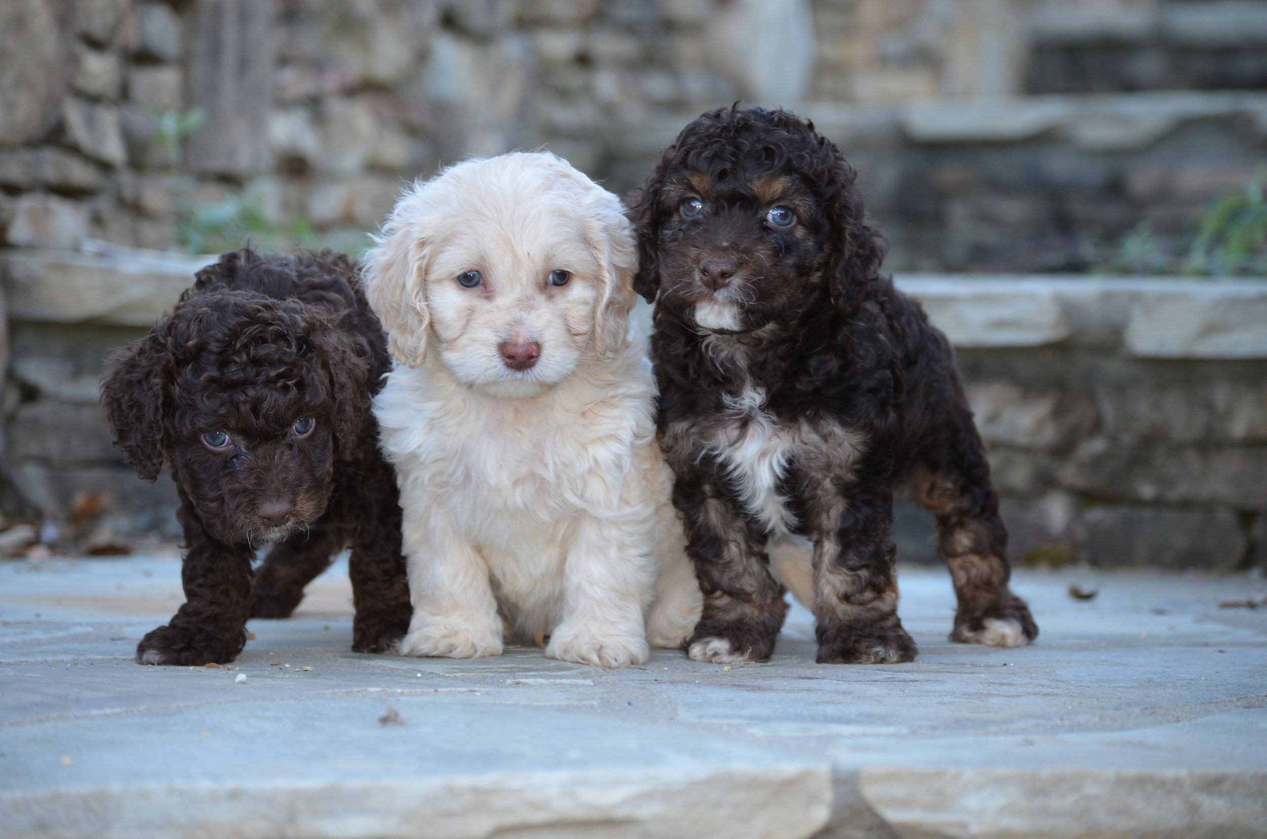 Best Cockapoo Breeders Cockapoo Breeders Pets Labrador Puppy
