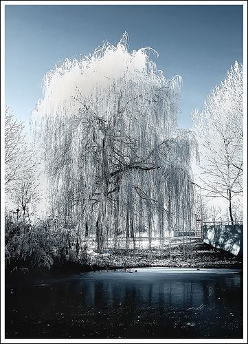 Winter Weeping Willow Winter Pictures Tree Photography Weeping Willow
