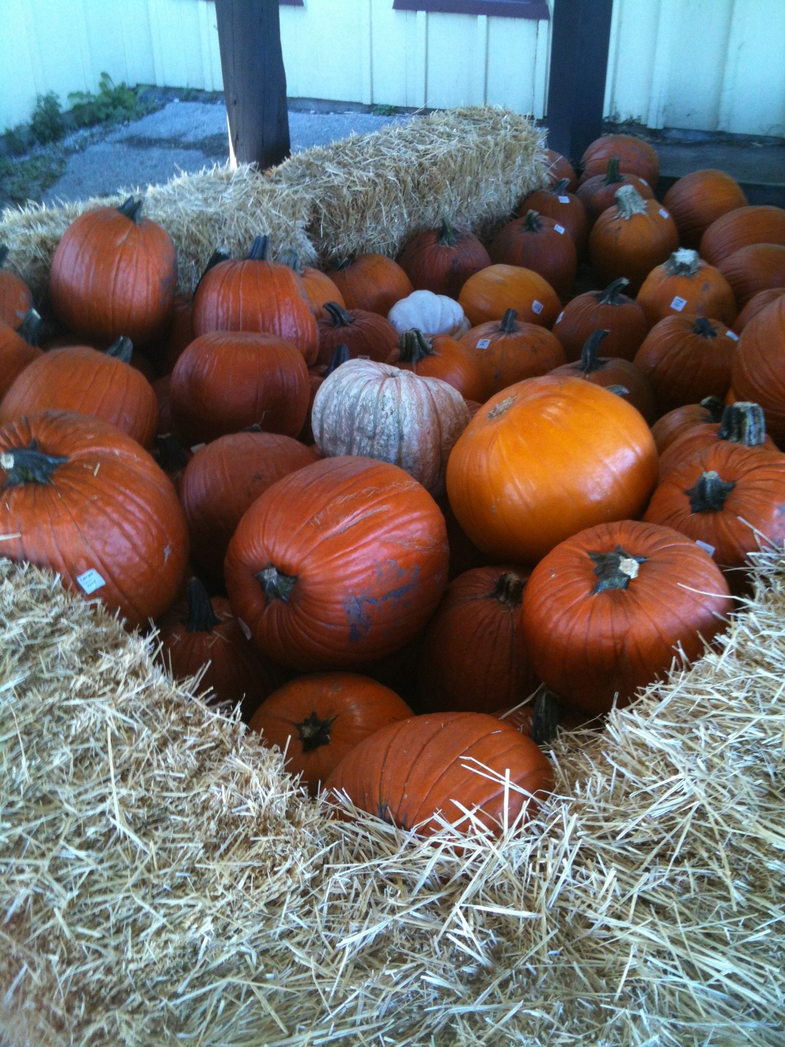 Pumpkin patches, Mukwanago, Wisconsin, late September 2012