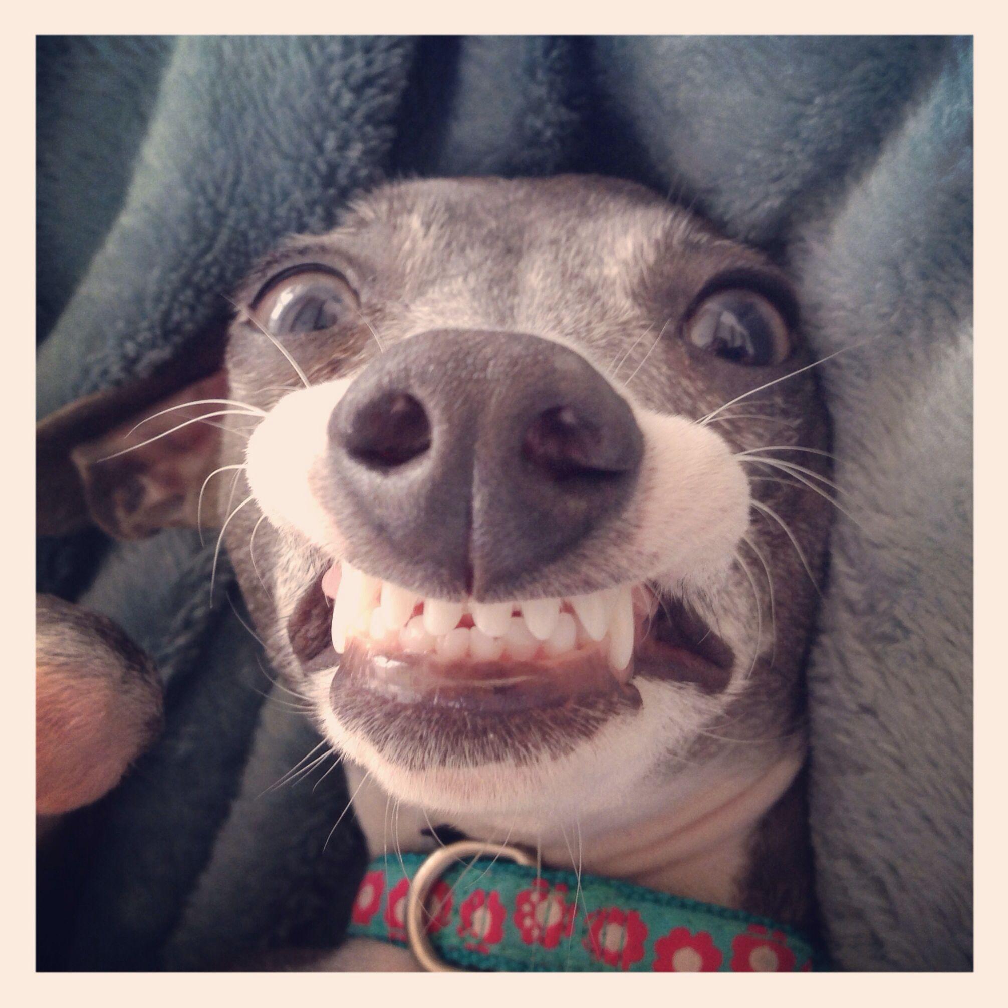 italian greyhound smiling - photo #15