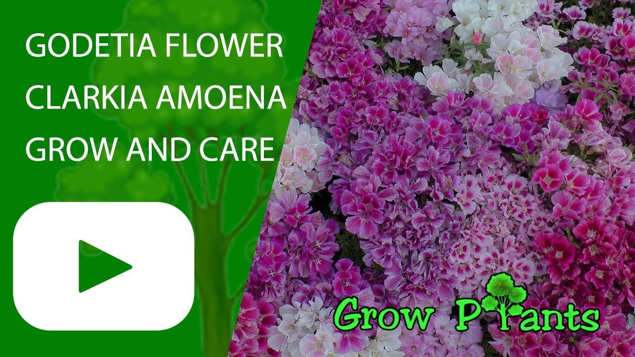 Godetia Flower Grow And Care Clarkia Amoena Plant Information Climate Hardiness Zone Uses Growth Speed Wa Fast Growing Plants Plants Growing Flowers