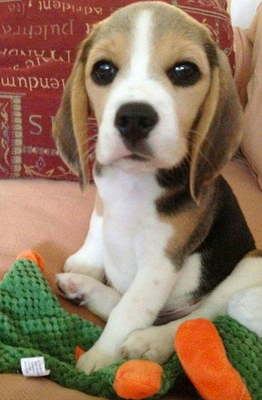 Pin By Melani Egbert On Woman S Best Friend Cute Beagles
