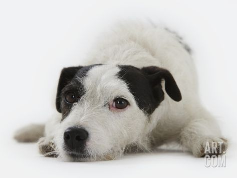 Jack Russell Terrier Lying Down Photographic Print by Russell Glenister at Art.com