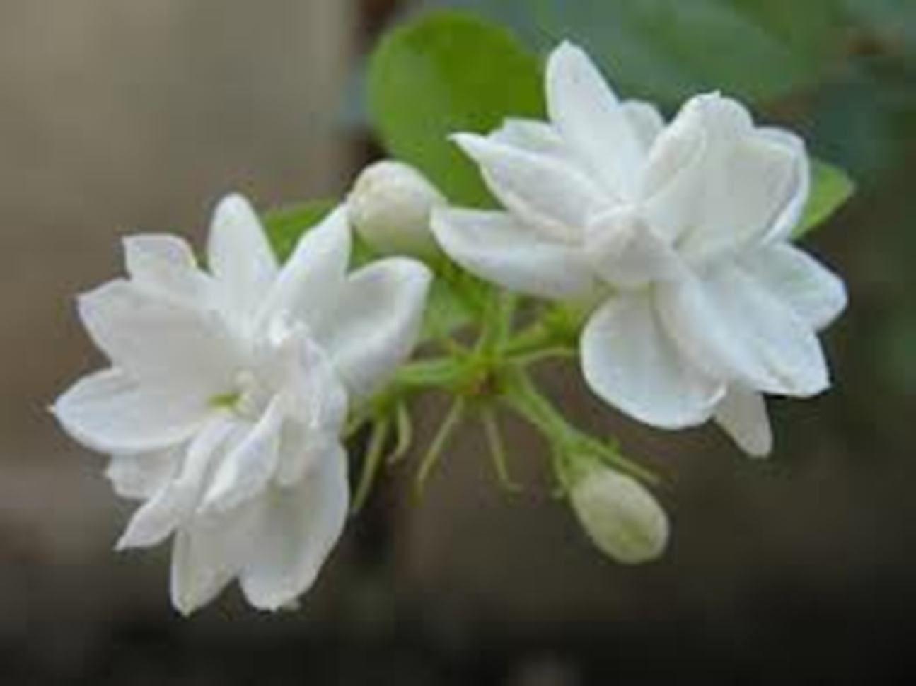 Mogra Hindu Holy Plants Pinterest Arabian Jasmine Flowers