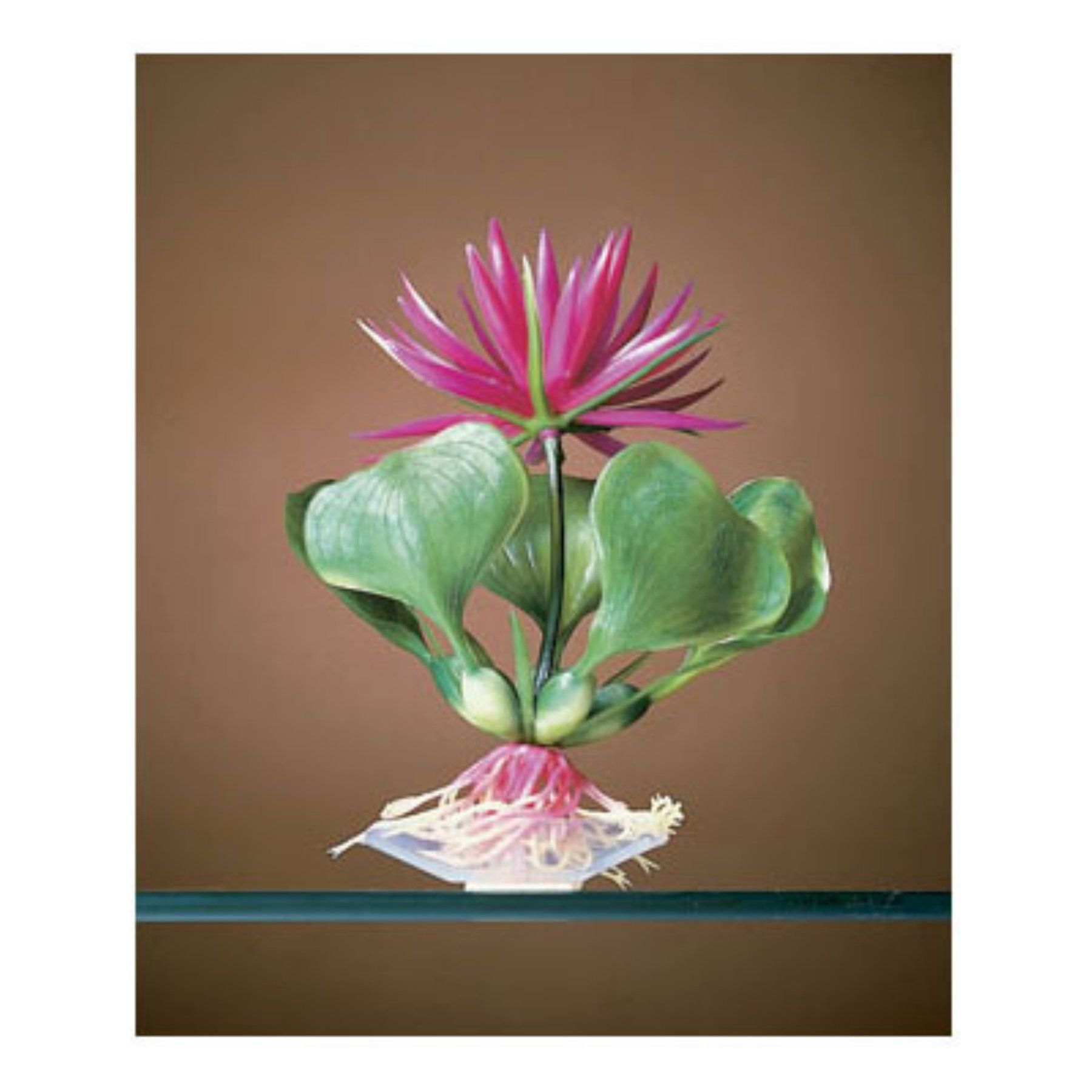 Aquaplants red water hyacinth aquarium plant pb products