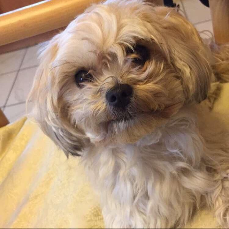 Facebook Losing A Pet Morkie Losing A Dog