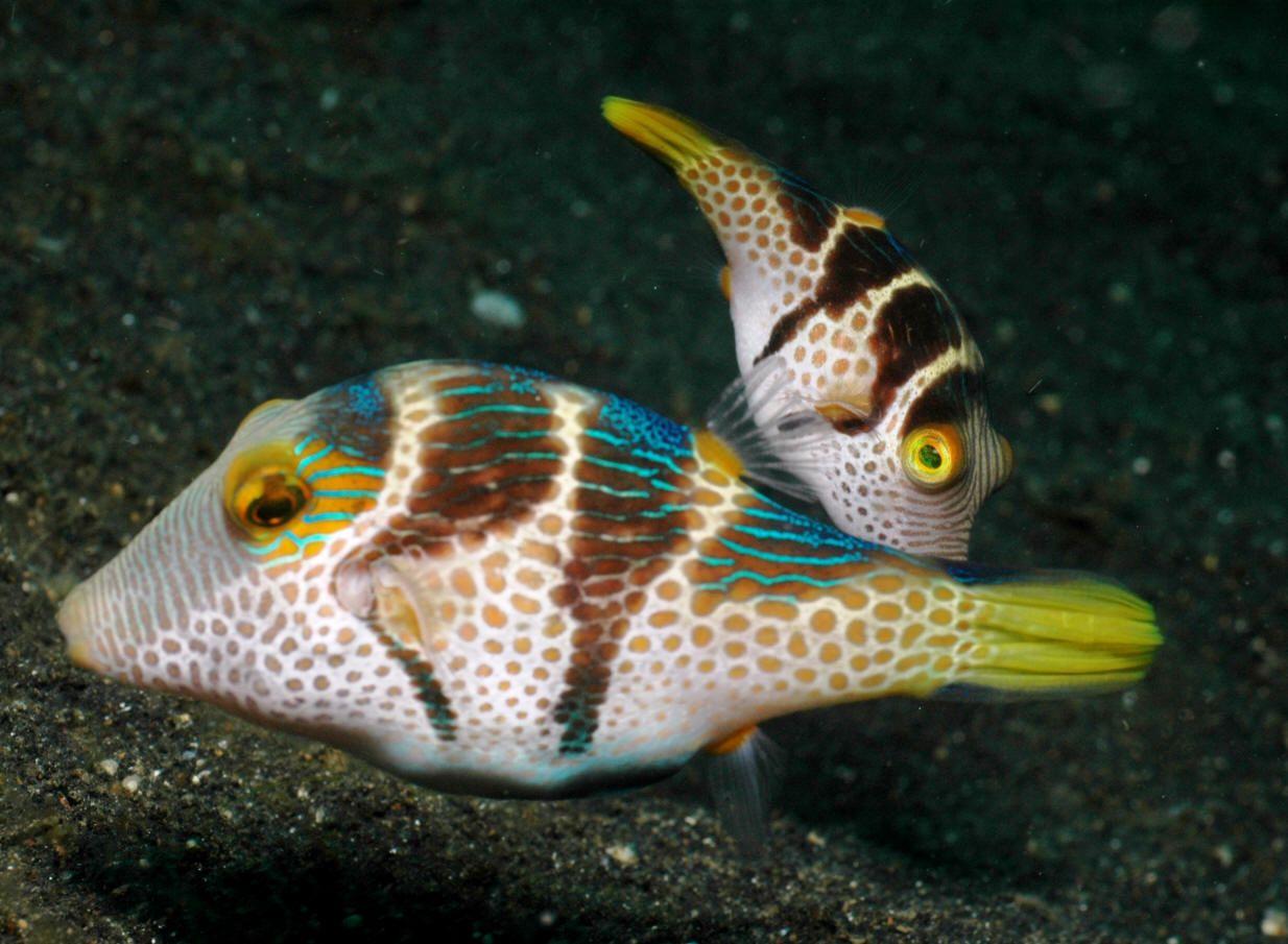 Valentini Pufferfish Ocean Dwellers Marine Fish Aquarium Fish