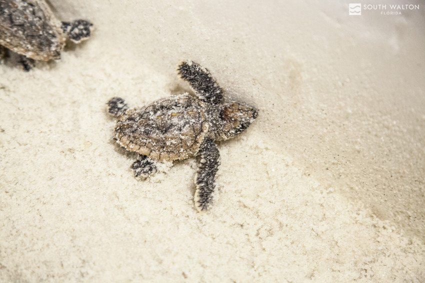 Look, but please don't touch! If you spot sea turtle activity, or a sea turtle in harm's way, be sure to immediately report it to the South Walton Turtle Watch. Our tiniest residents appreciate it!