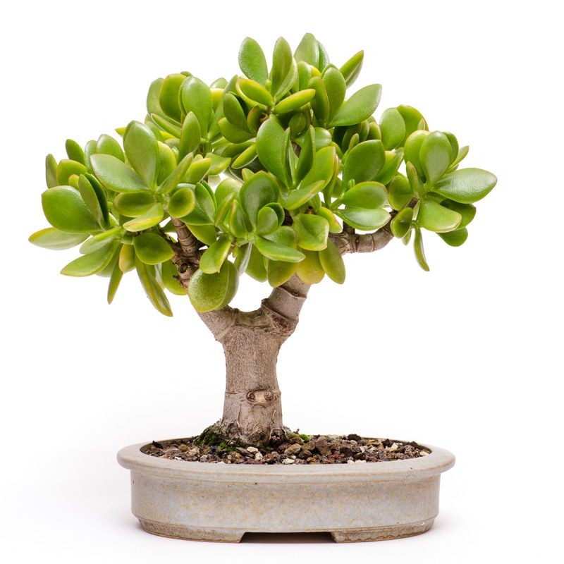 pfennigbaum crassula ovata als bonsai 2013 bonsai b ume pinterest crassula ovata bonsai. Black Bedroom Furniture Sets. Home Design Ideas
