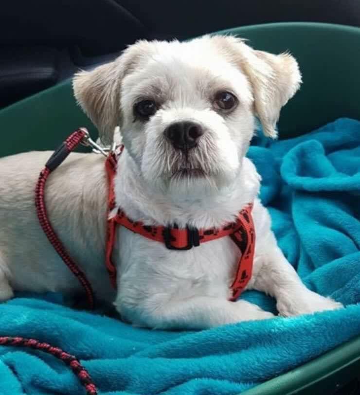 Little White Dog Missing Welldeck Road Area Hartlepool Hi