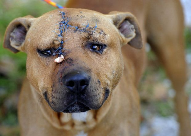 Pitbull Attacked With Ax Still Sweet And Friendly Pitbull