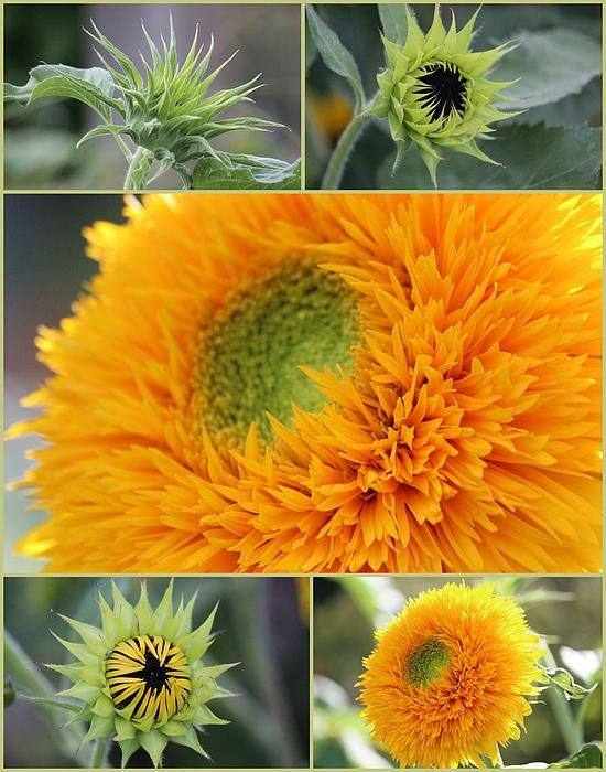 Sunflower Stages, see them all at Cantigny Gardens during summer.
