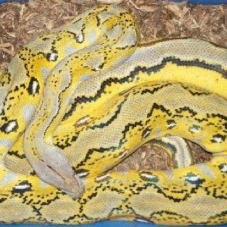 Platinum Sunfire Reticulated Python | Ball Python,Morphs ...