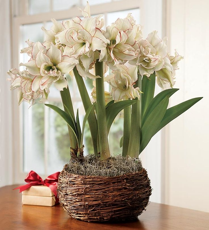 amaryllis bulbs pinterest | Harlequin Amaryllis Trio Bulb Garden - 34.95 from Plow and Hearth