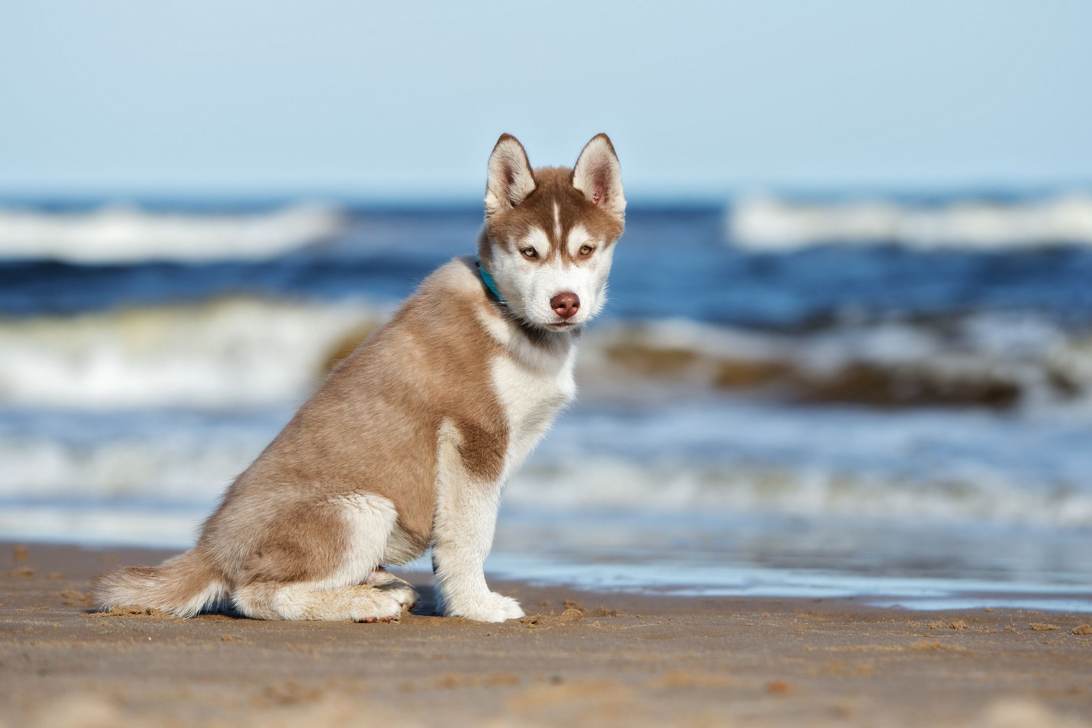 Siberian Husky Puppy By Sea Shore Just Wating For Owner To Throw A