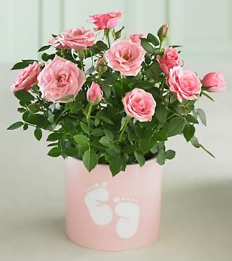 So Sweet Baby Feet Mini Rose Plant Sweet Miniature Roses