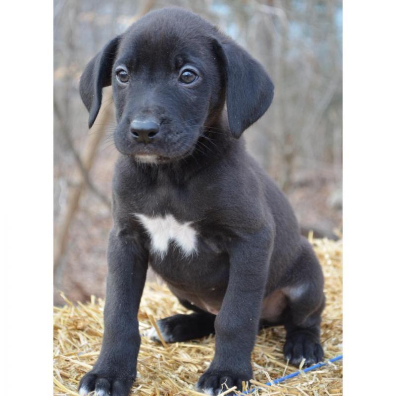 Adopt Mason On Border Collie Mix Puppies Black Labrador