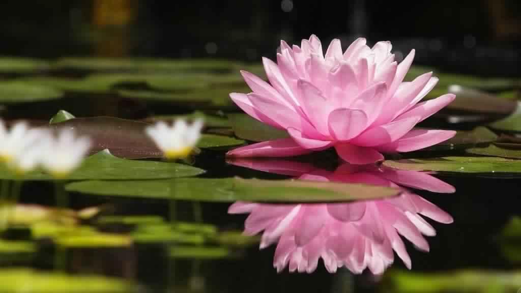 Iphone X Screensaver 4k Lotus Flower Wallpaper In 4k For Desktop