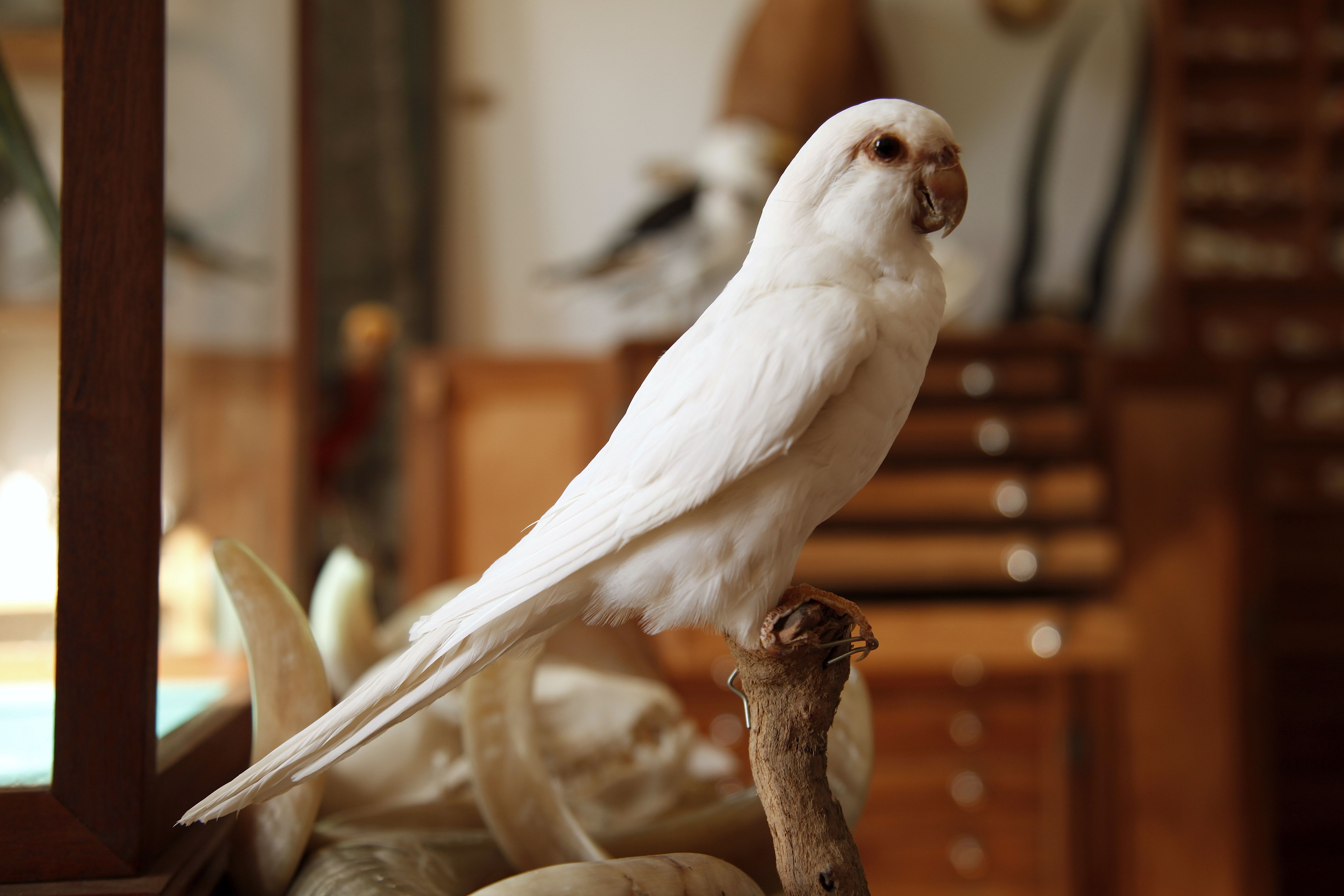 Taxidermy White Ringneck at Mandibles, Cape Town.