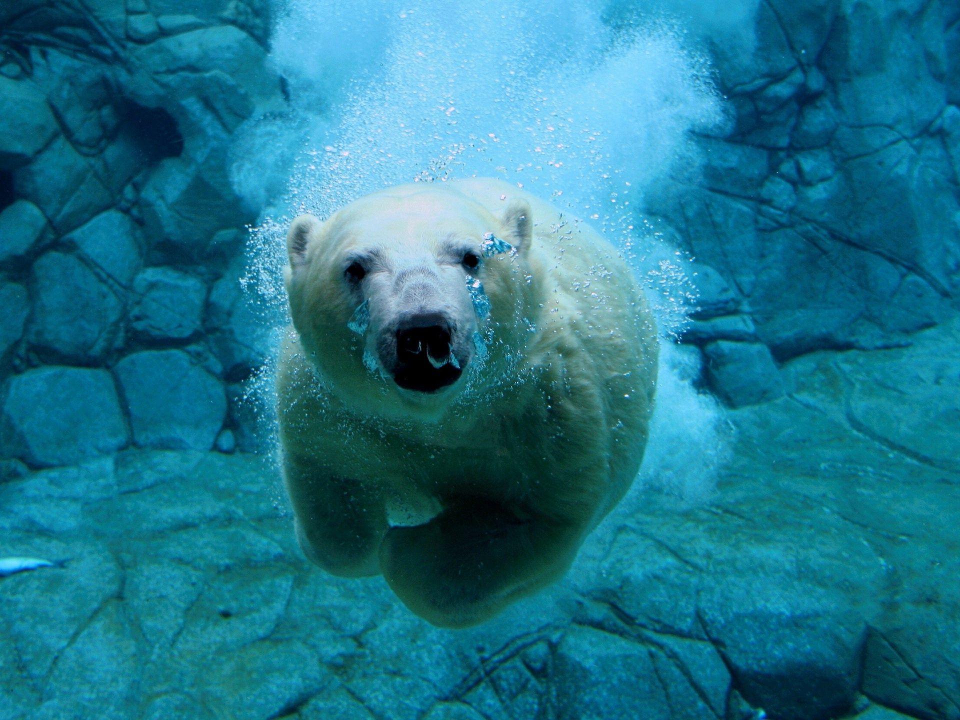 Underwater Swimming Polar Bear Free Stock Photo And