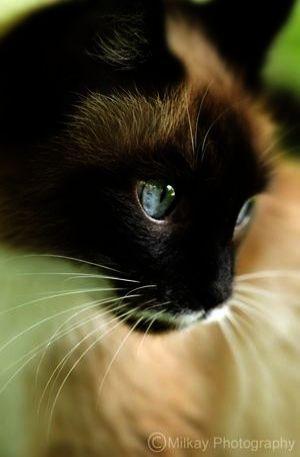 Impressive >> Beautiful Cats For Sale Near Me twitter
