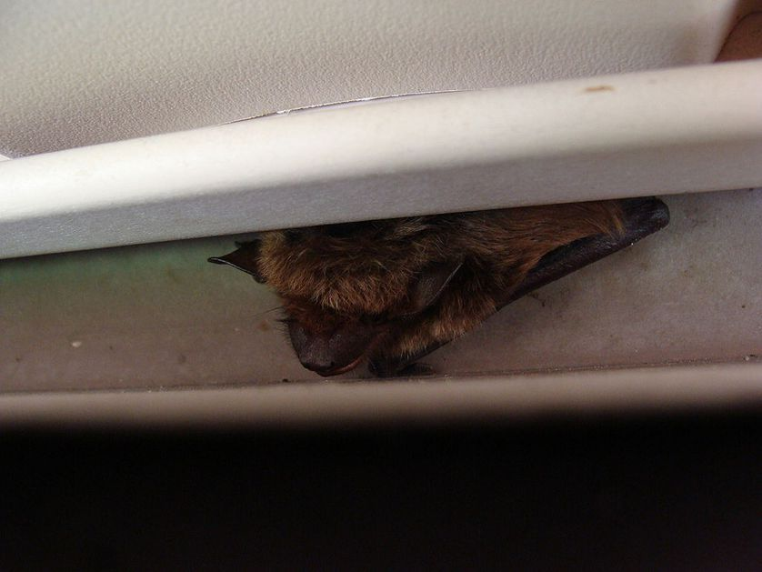 How To Get A Bat Out Of Your House Bats In Attic House Removals