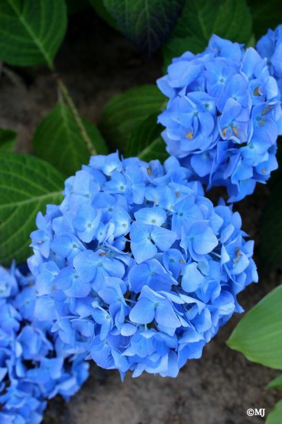 8 Tips For Fighting Allergies Divinity Lane Beautiful Hydrangeas Outdoor Flowers Planting Flowers