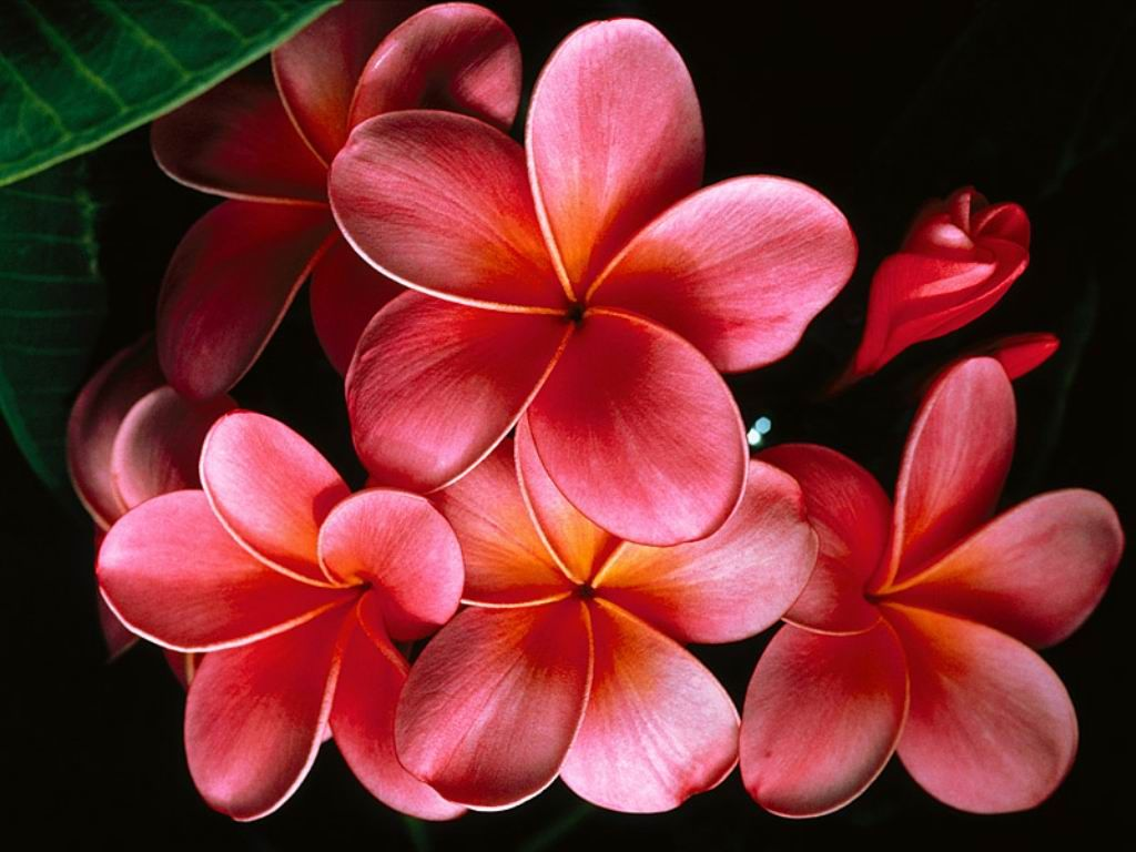 The flowers in my tattoo that i had done in hawaiilove them explore plumeria flowers tropical flowers and more dhlflorist Gallery