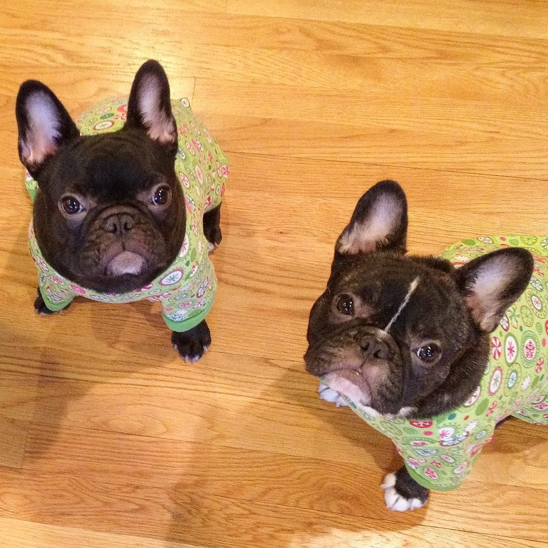 Those Eyes Who Can Say No Myra Doris French Bulldog Puppies Throwbackthursday By Threelittlefrenchies