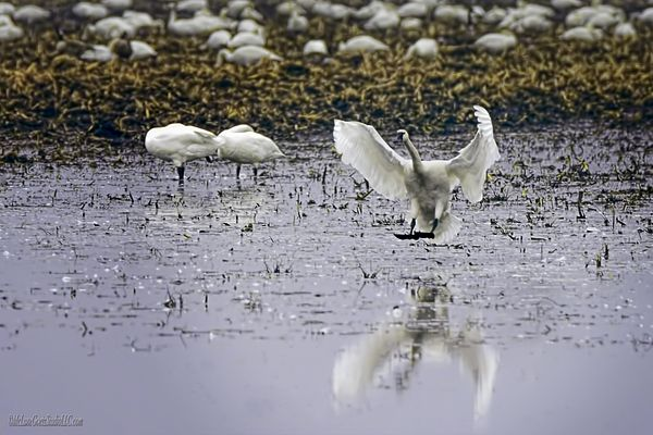 Tundra Swan Has landed By LeeeAnn McLaneGoetz McLaneGoetzStudioLLC.com The long migration has these Tundra Swans making a stop in the flooded fields of Imlay City Michigan #tundra,#swan,#Michigan,#Birding