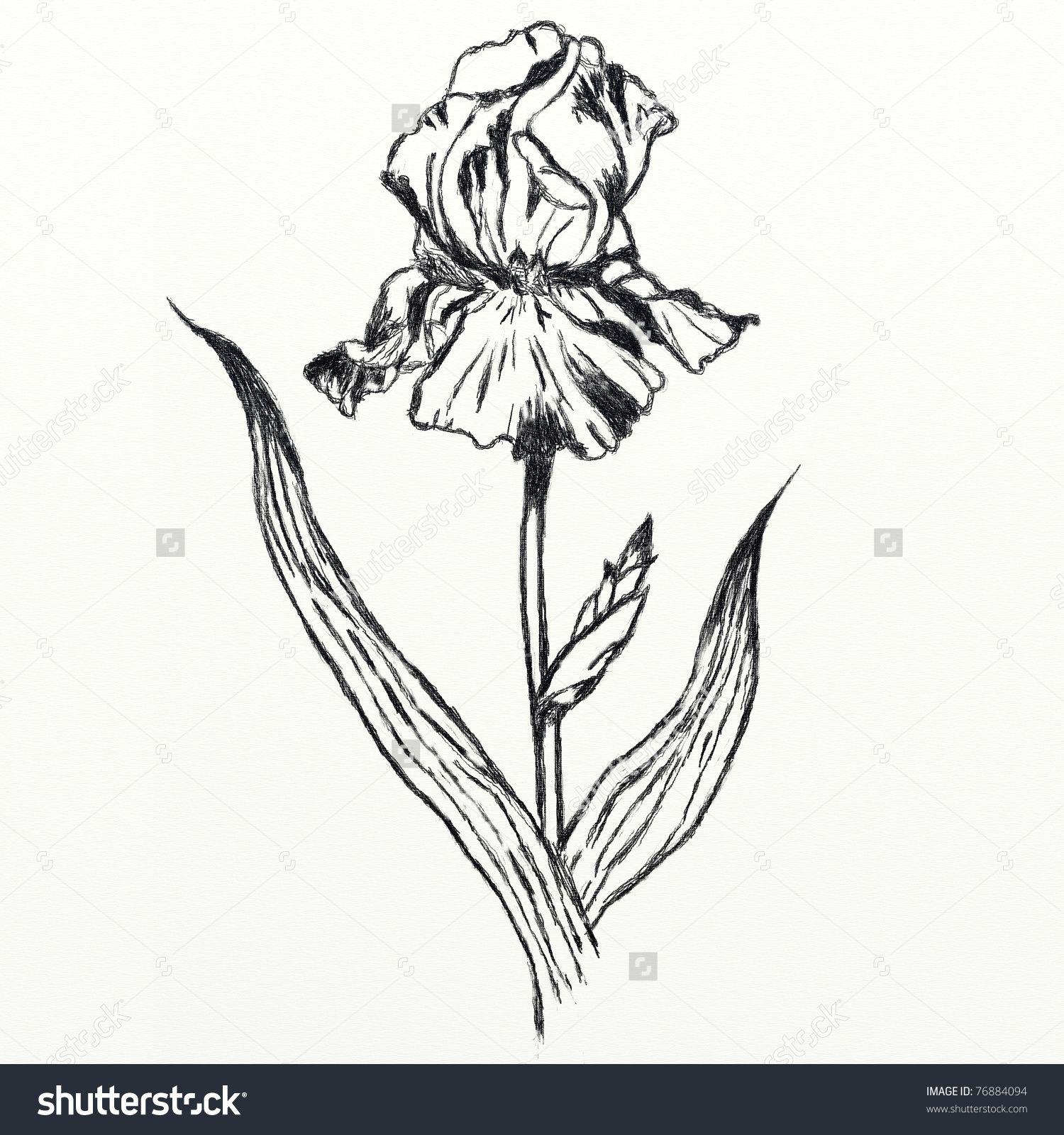 Iris Drawing Drawing Iris Flower Realistic Sketch Stock Illustration Iris Drawing Flower Sketch Images Drawings