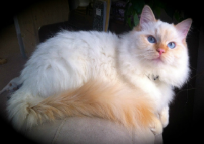 Ragdoll Cats For Sale New York City New Jersey Long Island Ragdoll Cats For Sale Ragdoll Cat Ragdoll Kittens For Sale