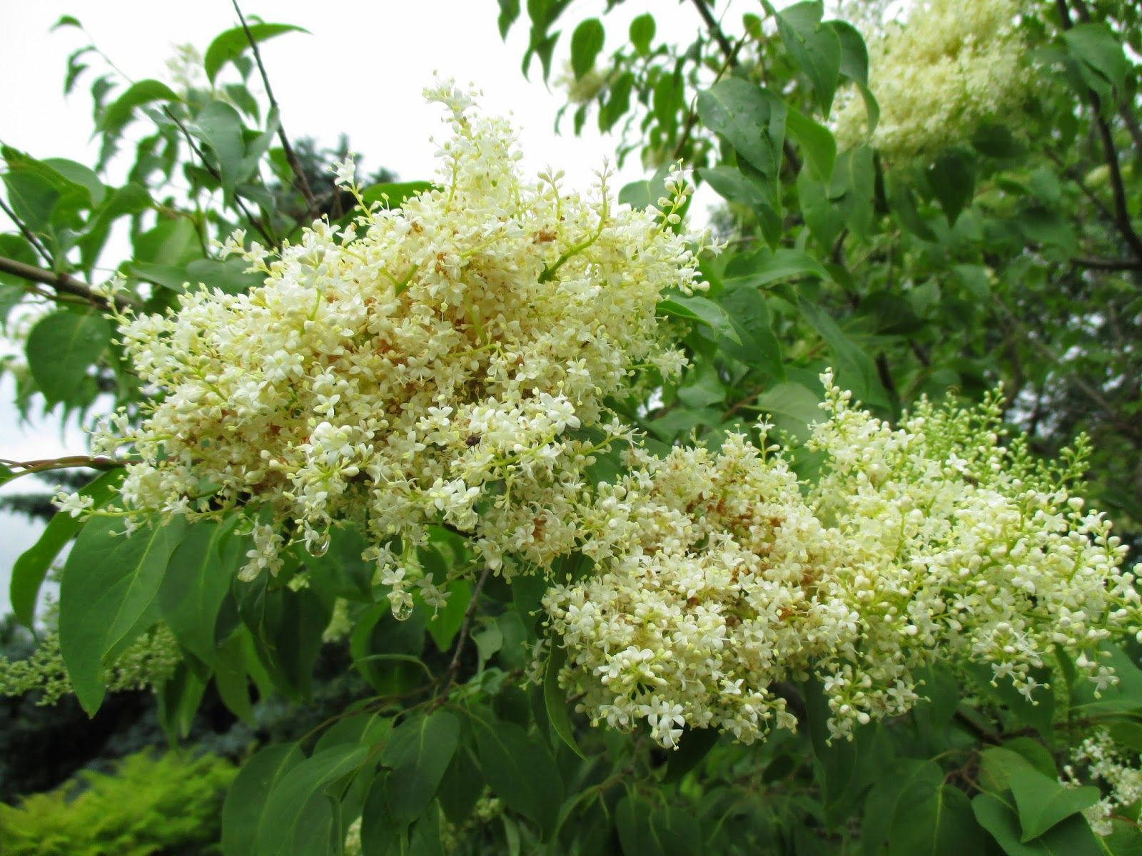 China Snow Peking Lilac Syringa Pekinensis Morton Blooming