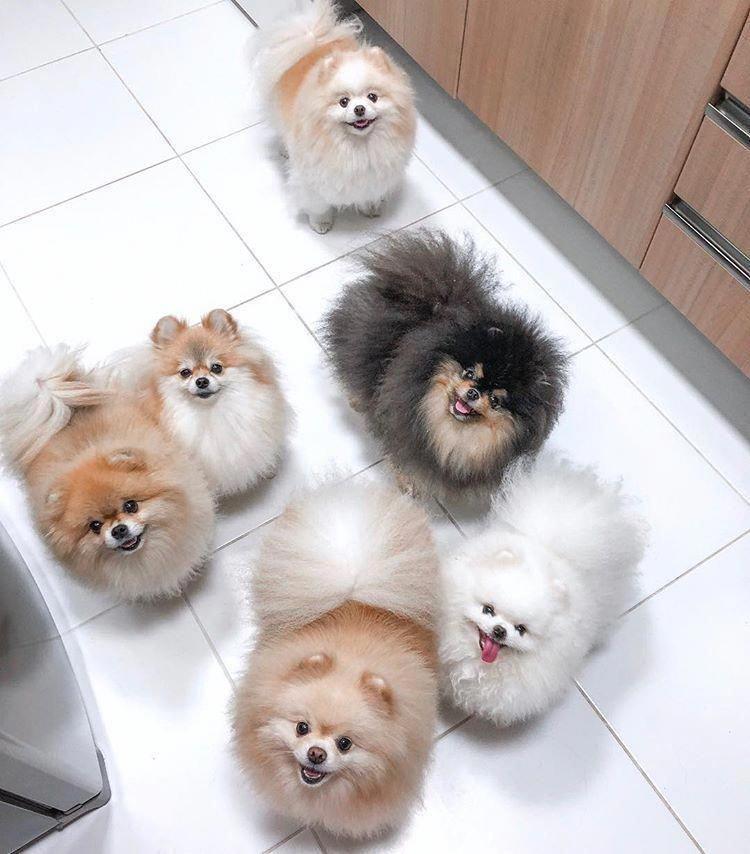 Pomeranian Puppy Shaved Small Cute Puppies Pomeranian Puppy Cute Baby Animals