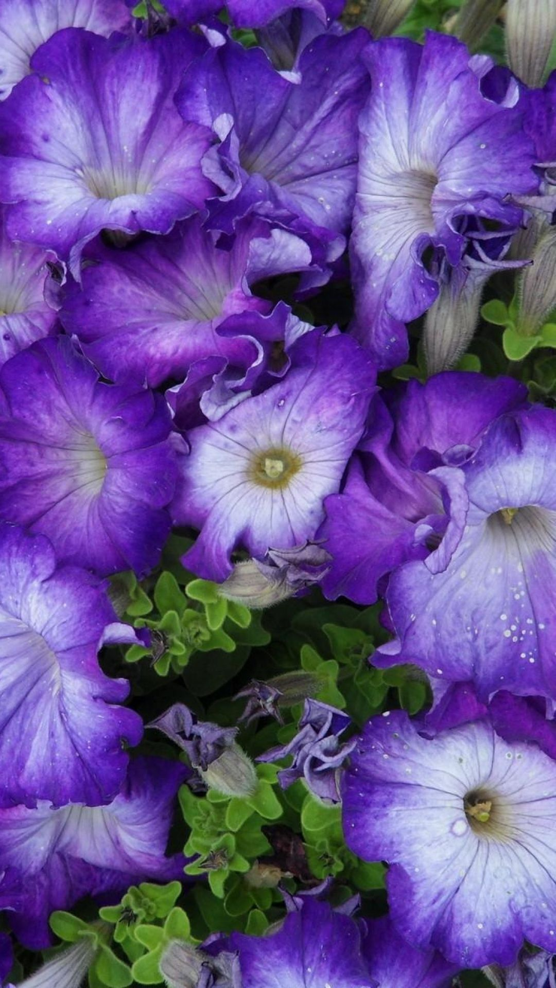 Download Wallpaper 1080x1920 Petunia Purple Two Tone Lot Sony Xperia Z1 Zl Z Samsung Galaxy S4 Htc One Hd Background