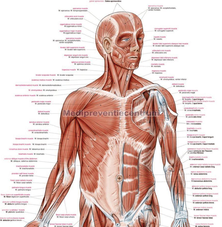 Alle spieren in je boven lichaam, het zijn er heel veel en dienen ...