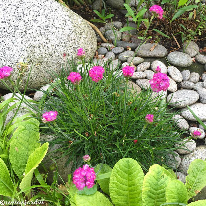 Gazon d\'Espagne – Armeria maritima – en fleurs en avril-mai ...