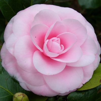 Atlantic Coast Camellia Society Camellia Picture Library Beautiful Pink Flowers Botanical Flowers Showy Flowers