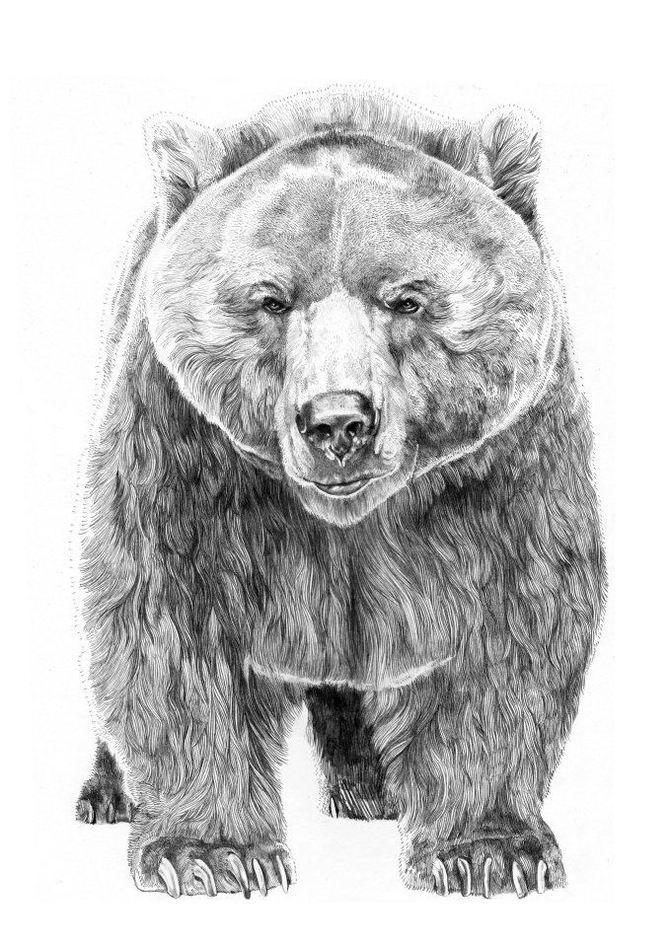 Картинки медведя нарисованный карандашом