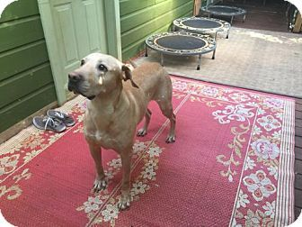 Pictures of Jeff *SEEKING DOG SAVVY TYPES* a Labrador Retriever/Mastiff Mix for adoption in Decatur, GA who needs a loving home.