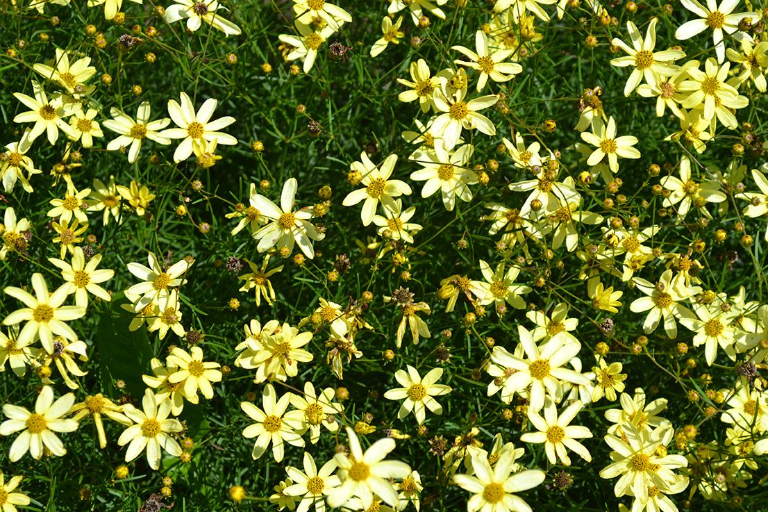 Moonbeam Coreopsis Is A Perennial That Produces Small Yellow Flowers