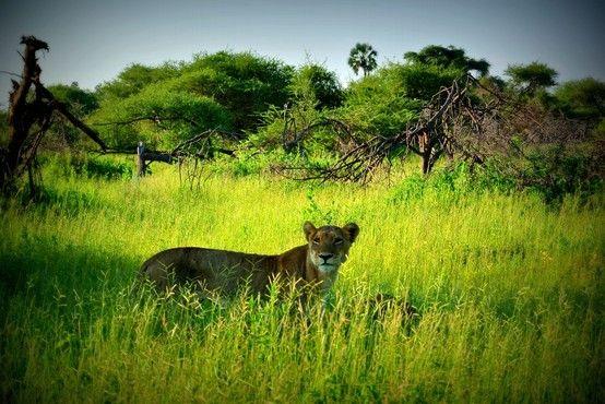 African Safari at Mombo Camp , Moremi Reserve , Botswana. Come visit this Luxury African Safari Lodge. Inquire @ www.UltimateAfrica.com