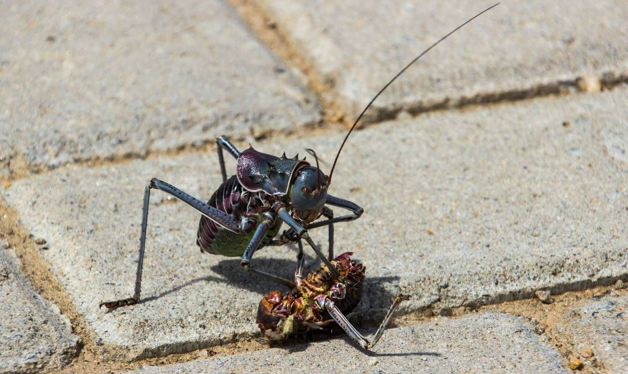 Armored Bush Cricket eating one of its own. Namibia